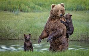 Fotos Bären Braunbär Jungtiere Nass