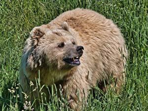 Bilder Bären Braunbär Gras Starren Grinsen Tiere