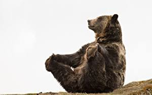 Images Bears Brown Bears Paws Sitting Funny animal