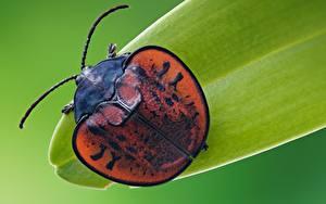 Hintergrundbilder Käfer Großansicht Makro Leaf beetle Tiere