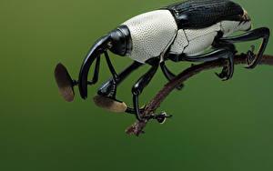 デスクトップの壁紙、、カブトムシ、昆虫、クローズアップ、cercidocerus albicollis、動物