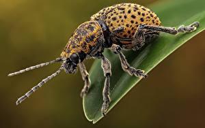 Tapety na pulpit Chrząszcze Insekty Z bliska chrysomelinae Zwierzęta