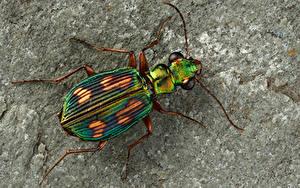 Fonds d'écran Coléoptères Insectes En gros plan pericalus Animaux