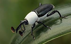 デスクトップの壁紙、、カブトムシ、昆虫、クローズアップ、weevil、動物