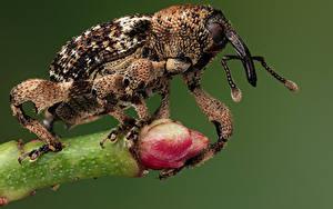 Tapety na pulpit Chrząszcze Insekty Zbliżenie weevil zwierzę