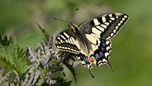 Fotos Schmetterling Nahaufnahme Insekten Papilio machaon ein Tier
