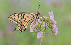 Tapety na pulpit Motyle Insekty Z bliska Swallowtail butterflies Zwierzęta