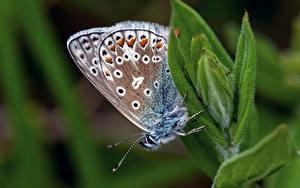 Fonds d'écran Papilionoidea Insectes En gros plan Bokeh common blue Animaux