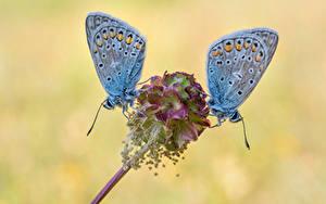 Fonds d'écran Papillons Insectes En gros plan Deux common blue Animaux