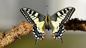 桌面壁纸,,蝴蝶,昆虫,特寫,machaon,動物