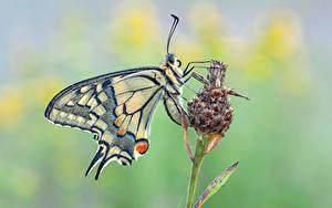 Bilder Schmetterlinge Insekten Nahaufnahme machaon Tiere