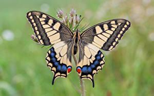 Bilder Schmetterlinge Insekten Großansicht machaon Tiere