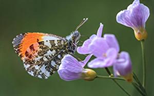 Fonds d'écran Papillons Insectes En gros plan orange tip un animal