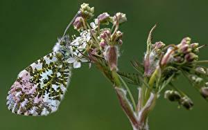 Fonds d'écran Papilionoidea Insectes En gros plan orange tip un animal