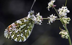 Fonds d'écran Papillons Insectes En gros plan orange tip Animaux