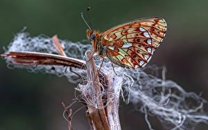 Fonds d'écran Papilionoidea Insectes En gros plan pearl-bordered fritillary Animaux