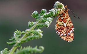 Fonds d'écran Papilionoidea Insectes En gros plan pearl-bordered fritillary un animal
