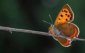 Fonds d'écran Papillons Insectes En gros plan small copper Animaux