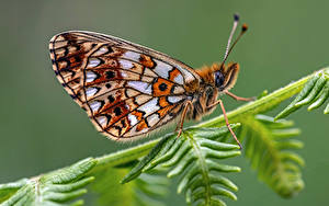 Fonds d'écran Papilionoidea Insectes En gros plan small pearl-bordered fritillary Animaux