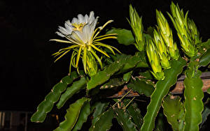 Bilder Kakteen Hautnah Blütenknospe Blüte