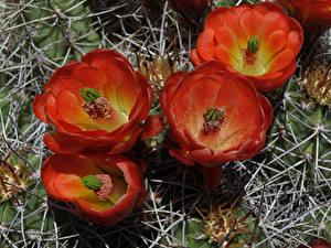 Hintergrundbilder Kakteen Großansicht Rot Blumen