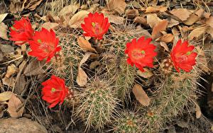 Bilder Kakteen Großansicht Rot Blumen