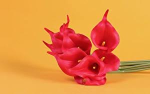 Hintergrundbilder Drachenwurz Großansicht Farbigen hintergrund Rot Blüte