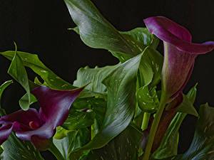 Bilder Drachenwurz Nahaufnahme Zwei Burgunder Farbe Blattwerk Blumen