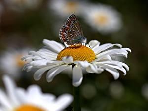 Bilder Kamillen Schmetterling Hautnah Insekten Unscharfer Hintergrund Blüte