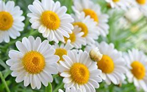 Bilder Kamillen Großansicht Blumen