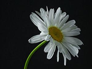 Fotos Kamillen Großansicht Schwarzer Hintergrund Weiß Blüte