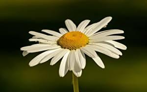 Desktop hintergrundbilder Kamillen Nahaufnahme Unscharfer Hintergrund Weiß Blumen