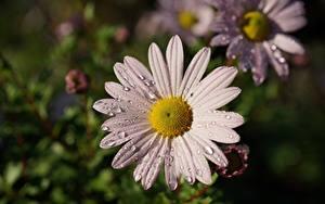 Hintergrundbilder Kamillen Hautnah Tropfen Unscharfer Hintergrund Blüte