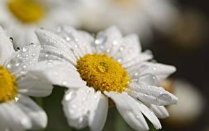 Hintergrundbilder Kamillen Nahaufnahme Tropfen Bokeh Weiß Blüte