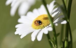 Tapety na pulpit Rumianki Biedronka Owady Z bliska Bokeh Kwiaty