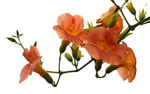 Fotos Trompetenblumen Großansicht Weißer hintergrund Tropfen Orange Blumen