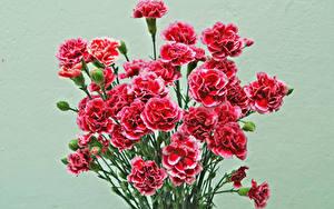 Bilder Nelken Sträuße Farbigen hintergrund Rot Blumen