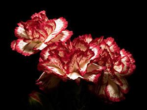 Hintergrundbilder Nelken Hautnah Schwarzer Hintergrund Blüte