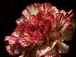 Papel de Parede Desktop Dianthus De perto Fundo preto flor