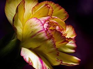 Fotos Nelken Nahaufnahme Schwarzer Hintergrund Blüte