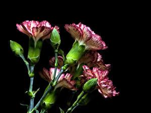 Bilder Nelken Großansicht Schwarzer Hintergrund Knospe Blüte