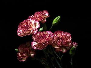 Images Carnations Closeup Black background Flower-bud Flowers