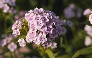 Bilder Nelken Großansicht Bokeh Dianthus barbatus Blumen