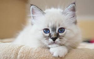 Hintergrundbilder Katzen Katzenjunges Starren Blick Weiß Ein Tier