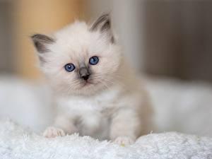 Bilder Katze Birma-Katze Weiß Kätzchen