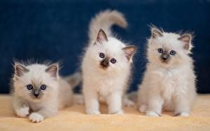 Bilder Katze Birma-Katze Katzenjunges Kätzchen Ein Tier