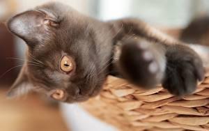 Desktop hintergrundbilder Hauskatze Bokeh Starren Pfote Katzenjunges Schwarz ein Tier