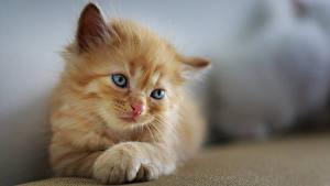 Fotos Katze Unscharfer Hintergrund Kätzchen Starren Pfote Fuchsrot Süß ein Tier