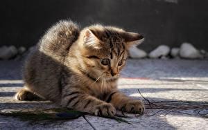 Hintergrundbilder Hauskatze Unscharfer Hintergrund Katzenjunges Spielen Pfote ein Tier