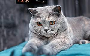 Hintergrundbilder Katze Britisch Kurzhaar Graue Blick Tiere